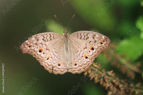 brązowy motyl makro