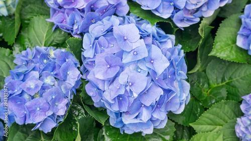 Plexiglas Hydrangea Blue hydrangea flower in a garden.
