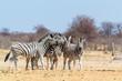 Zebra family in african bush
