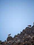 Three goats enjoy the sun on the mountain's hips - 194399701