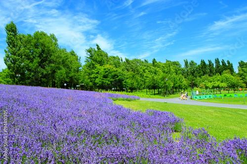 Fotobehang Lavendel Sapporo citizen's park, lavender field