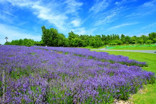 Aluminium Lavendel Sapporo citizen's park, lavender field