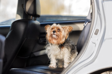 adorable small dog sitting in the backseat of a car
