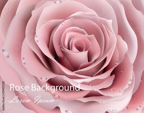 Kwiat róży z bliska Wektor realistyczne tła. 3d ilustracyjni delikatni różowi kolory