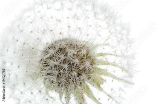 White Dandelion (Taraxacum Officinale) Flower Close-up © Vidady