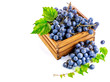Blue grapes in wooden box with vine still life. Green leaf.