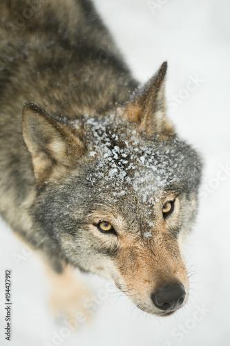 Fotobehang Wolf gray wolf