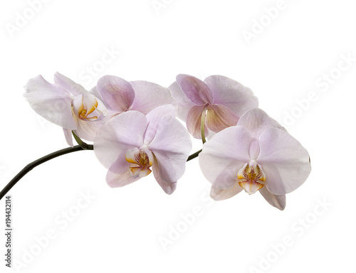 Fototapeta Pink orchid isolated on white background.