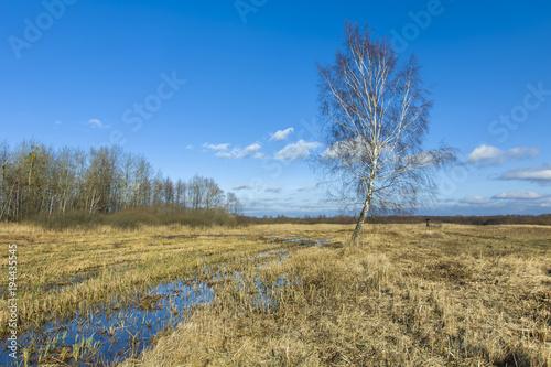 Plexiglas Berkenbos A single birch on wet ground