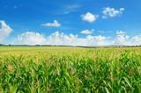Green corn field and blue sky.