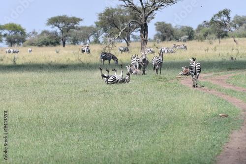 Foto op Canvas Olijf Safari