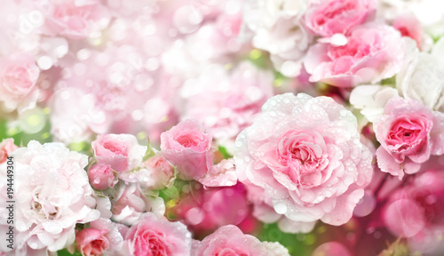 Kwitnących róż kwitnie tło.