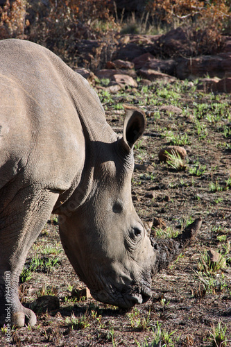 Aluminium Neushoorn Rhino Portrait in Morning Sun