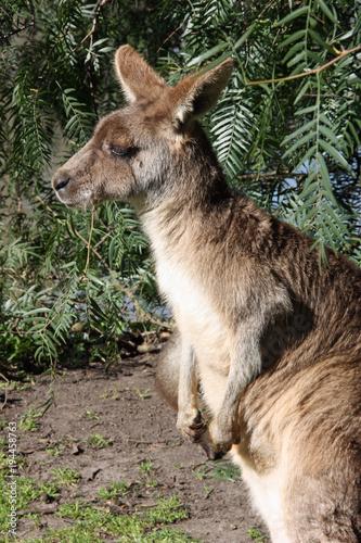 Plexiglas Kangoeroe Kangaroo profile