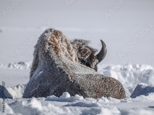 Fotobehang Bison Sleeping bison in winter