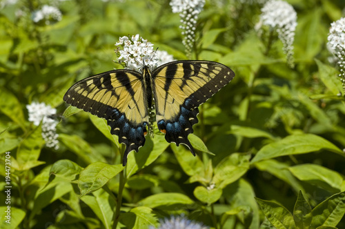 Aluminium Vlinder Tiger Swallowtail Butterfly