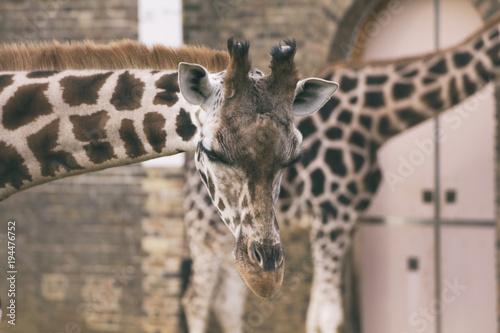 Deurstickers Londen Giraffe