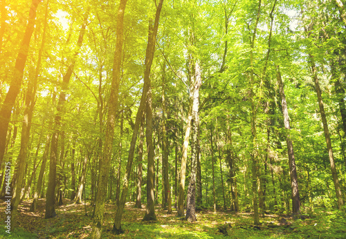 Orange Beautiful green forest background with sunny beams.