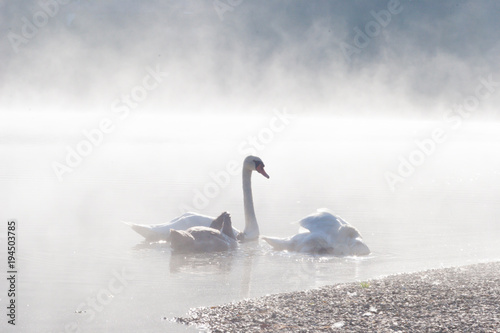 Fotobehang Zwaan Swans near the shore on a lake in morning fog