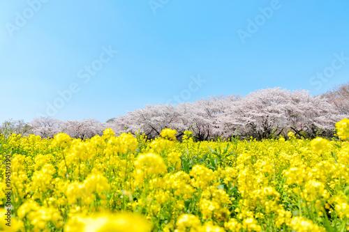 Fotobehang Geel 満開の桜と菜の花畑