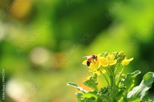 Aluminium Lime groen ミツバチと菜の花