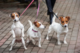 Gorgeous puppies of Jack Russell Terrier in the yard. - 194540738