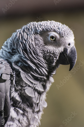 Aluminium Papegaai A gray parrot sits on a branch.