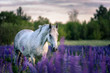 Portrait of a grey horse among lupine flowers. - 194546196