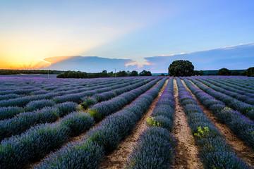 Lavender fields. Summer sunset landscape in Brihuega