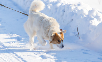 A dog walks in the snow in the winter