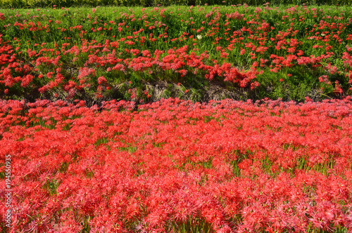 Fotobehang Koraal On the sunny day of autumn, the bank is covered with cluster amaryllis