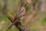 wryneck, bird, nature, wildlife