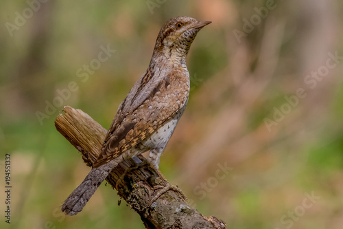 Tuinposter Natuur wryneck, bird, nature, wildlife