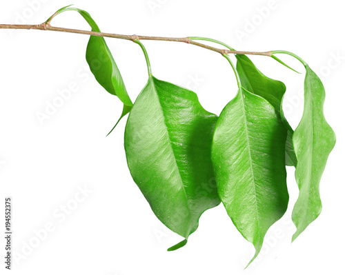 Foto op Canvas Natuur Leaves isolated on white background