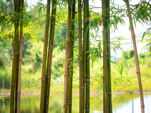 Fototapeta Bamboo with a natural background 01