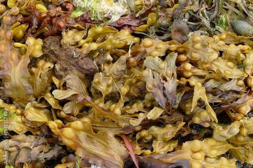 Fotobehang Noordzee Fucus vesiculosus, bladder wrack or bladderwrack, is a seaweed found on the coasts of the North Sea