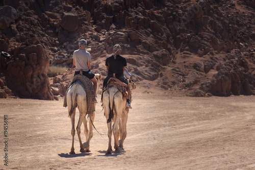 Aluminium Kameel Caravan going through the sand dunes in the Sinai Mountains, Egypt