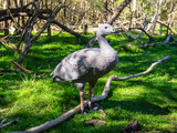 Cape Barren goose in the grass - 194557500