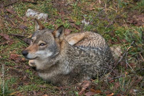 Fotobehang Wolf Splendido lupo grigio seduto nel prato