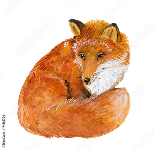 Fototapeta Fox. Watercolor illustration on white isolated background