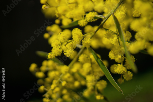 Fotobehang Sydney Native australian mimosa branch on dark background.