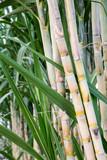 Sugar cane in the garden.