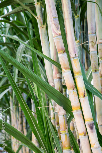 Aluminium Bamboe Sugar cane in the garden.