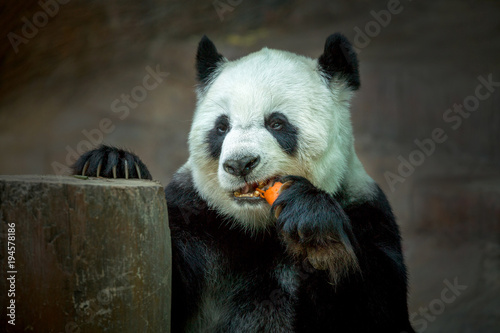 Plexiglas Panda Panda eating carrots.
