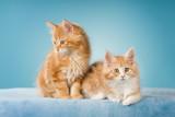Maine Coon Kätzchen auf blauer Decke