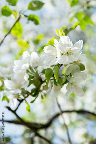 Apple blossoms. Blooming apple tree branch with large white flowers. Flowering. Spring. Beautiful natural seasonsl background with apple tree's flowers. - 194593356