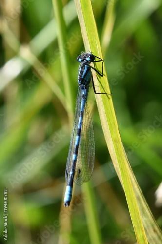 Leinwanddruck Bild Eurasian Bluet damselfly of the genus Coenagrion