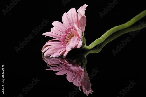 Plexiglas Gerbera Pink Gerbera flower