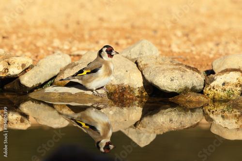 Aluminium Kikker Eurasian Goldfinch