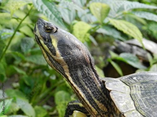 Aluminium Schildpad Turtle eye